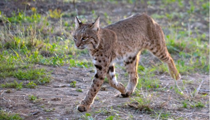 Bobcats are one of the Texas Hill Country wild cats you could encounter