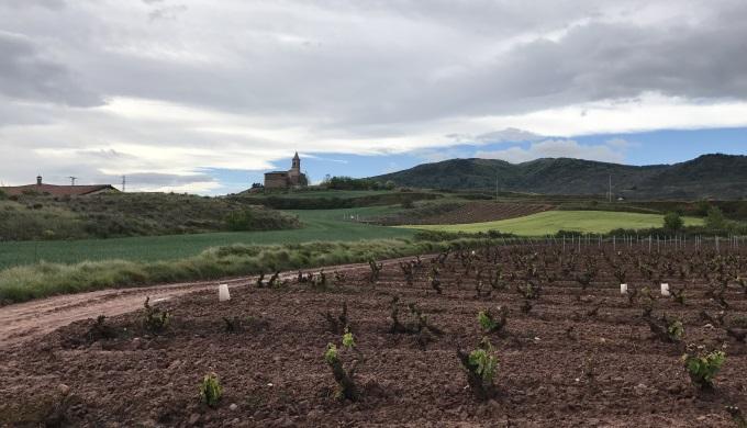 Camino Francais vineyard