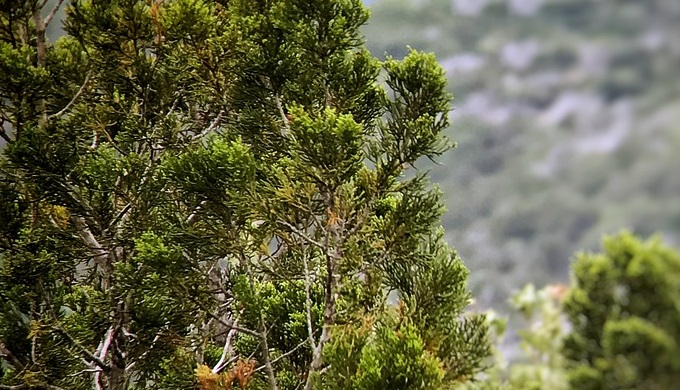 Cedar trees are common in the Hill Country and Edwards Plateau