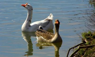 Cibolo Creek Ducks