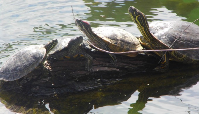 Cibolo Creek Turtles