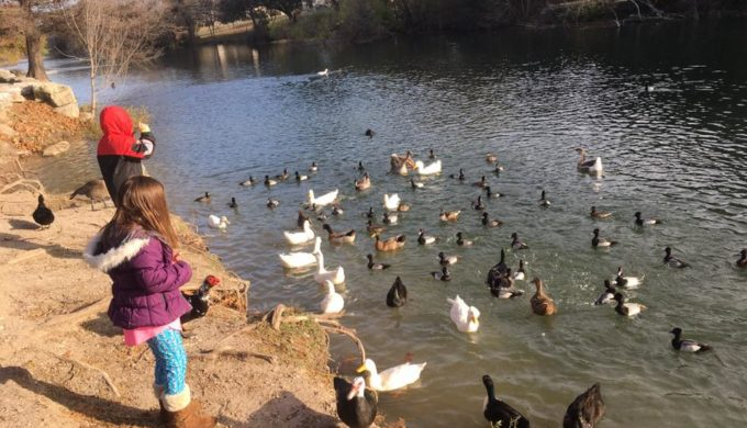 Cibolo Creek ducks abound at River Road Park in Boerne
