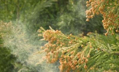 Combating Cedar Fever