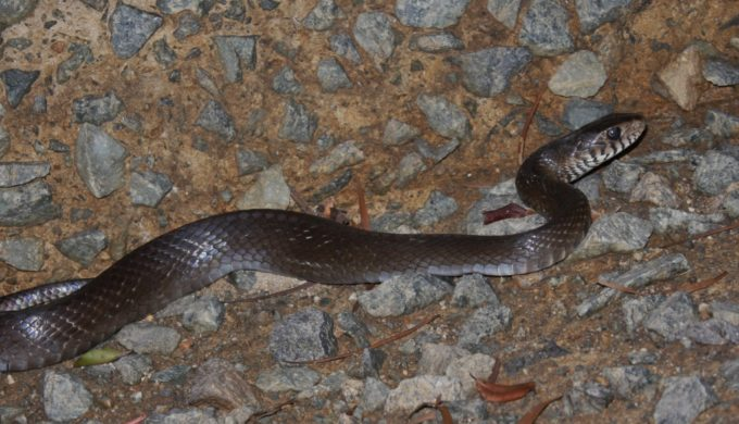 6-Foot Snake Slithers Down Chimney Into Texas Man's Fireplace