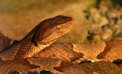 snakes Parker County Man Bitten by Two Copperheads In Matter of Seconds