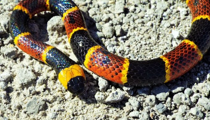 5 Facts About the Texas Coral Snake that Might Surprise You