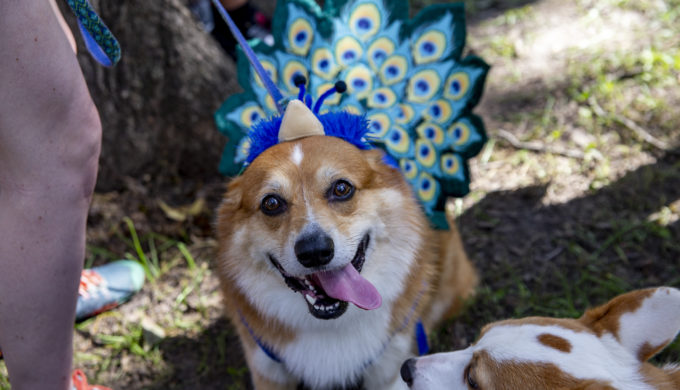 Texas Corgi Roundup Scheduled to Takeover Temple