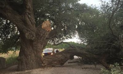 Damaged San Saba wedding oak