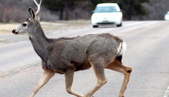 Deer on a highway