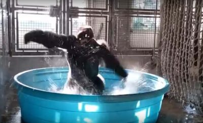 Dallas Zoo's Breakdancing Gorilla Catches the Eye of Adoring Fans