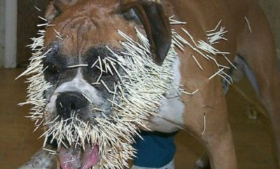 Dog vs. Porcupine