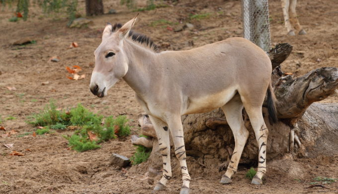 Dallas Zoo Welcomes Two Rare Somali Wild Ass Foals in July