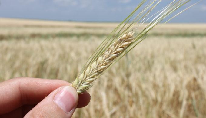 Texas Grown Barley
