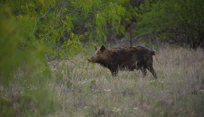 Texas Could Have as Many as 6 Million Feral Hogs, and Some are Killers