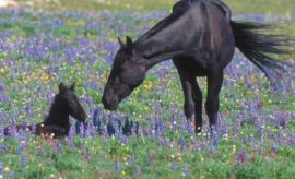 The Wild Horse Desert of Texas: What Happened to 1 Million Wild Horses?