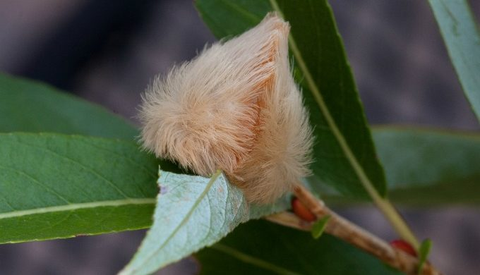 The Texas Asp Do Not Pet This Cuddly Looking Fuzzy Caterpillar