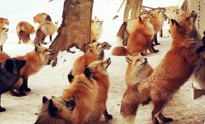 FoxVillageFI