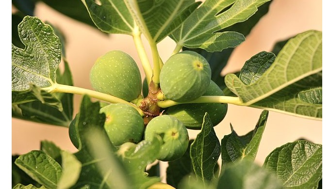 Fresh Figs on a Tree
