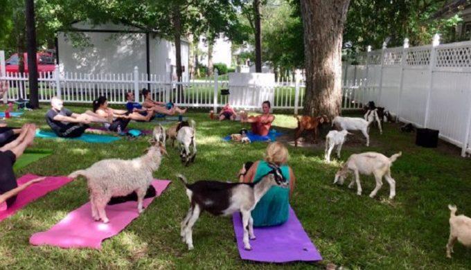 Goat Yoga 2