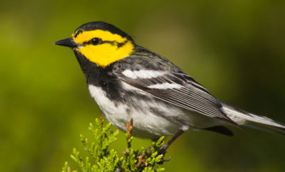 Jonestown Golden-cheeked Warbler Setophaga chrysoparia