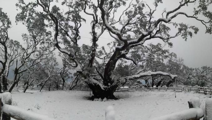 Goose Island Big Tree