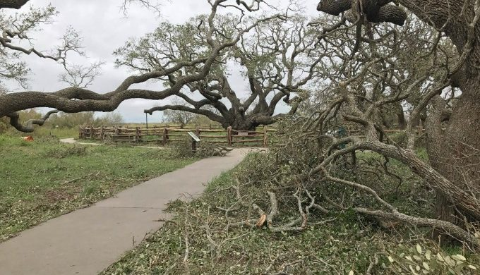 Goose Island tree after