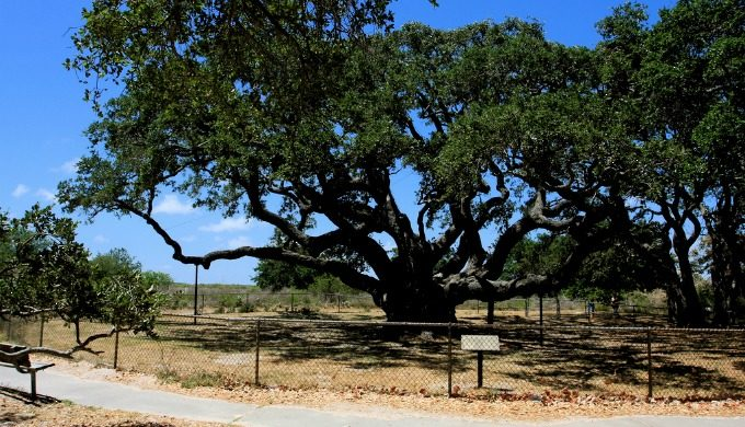 Goose Island tree before