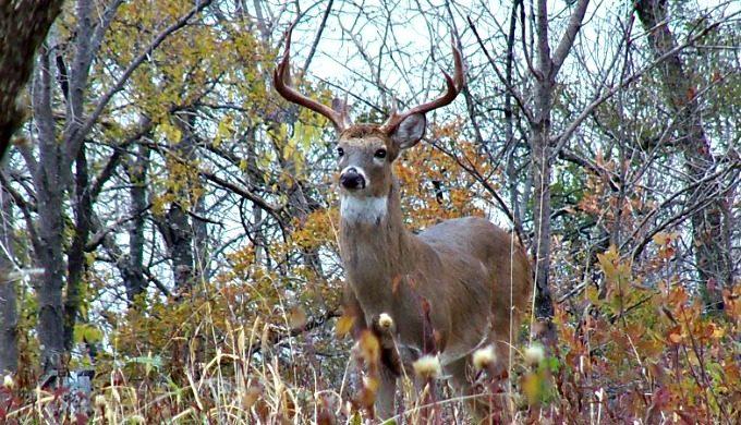 Grayson County deer