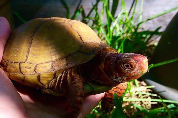 August Box Turtle at Eden Animal Sanctuary