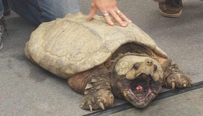 Harvey the Alligator Snapping Turtle Rescued from an Intersection in Houston