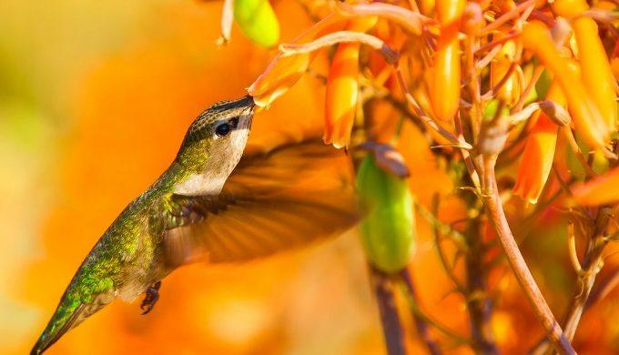 Hummingbird pollinator