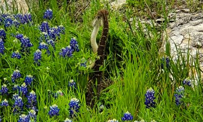 Watch This Rattlesnake Mating Ritual in the Bluebonnets