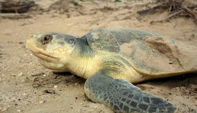 Kemp's Ridley turtle on beach
