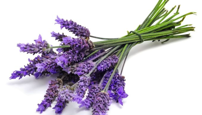 Lavender is the Best Natural Repellent for Scorpions