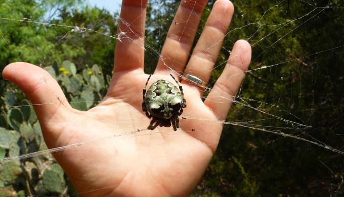 Lichen Orb Weaver