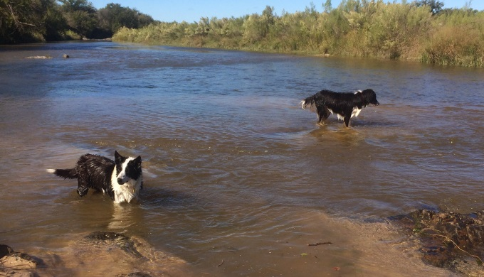 Border collies love the Llano