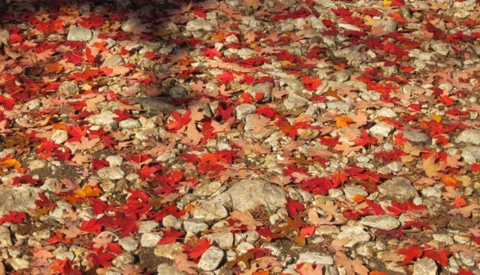 Lost maples leaves