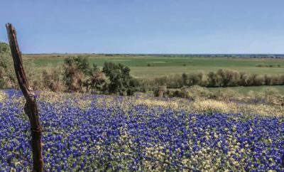 Lovely Bluebonnets