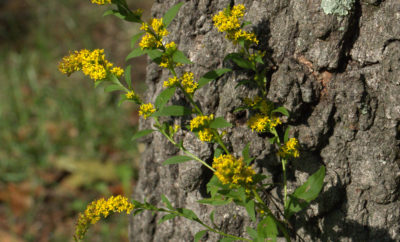 Goldenrod....The Good, the Bad and the Ugly