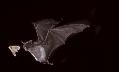 Mexican Free Tail Bat