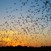 Mexican Free Tail Bats [VIDEO]