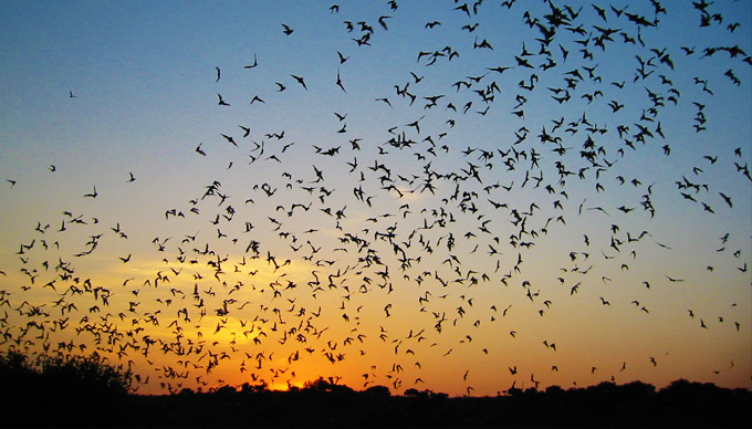 Mexican Free Tail Bats