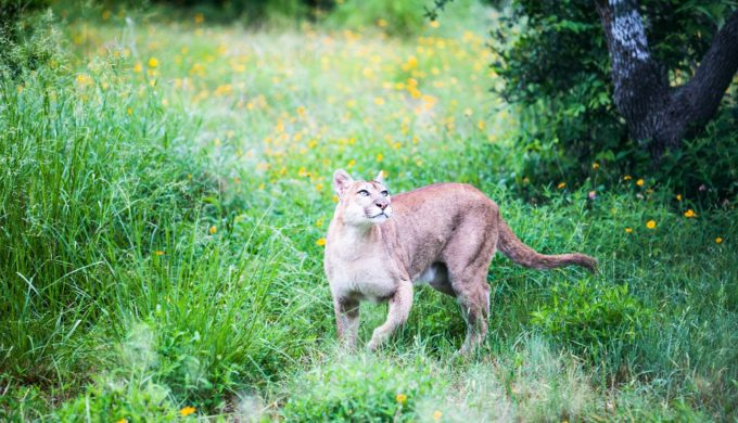 Mountain Lions are rarely seen by people due to their shy natures