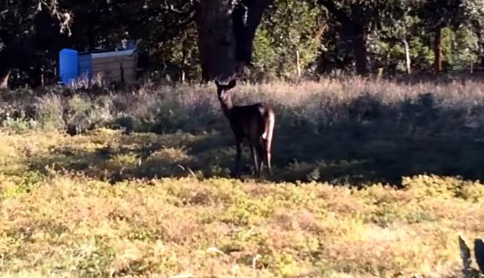 New Braunfels' Black Deer – Rarest of the Rare