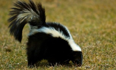 Ooooh, That Smell... Must Be Skunk Mating Season