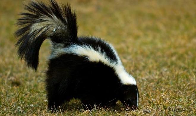 huffingtonpostcom - Skunk Pictures
