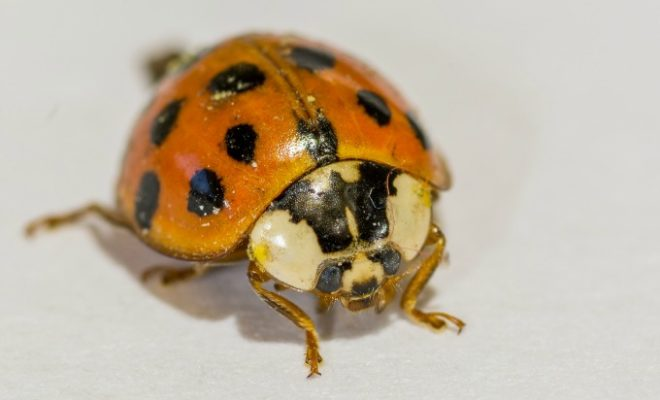 orange ladybugs