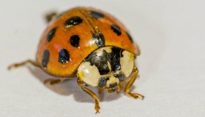 orange ladybugs