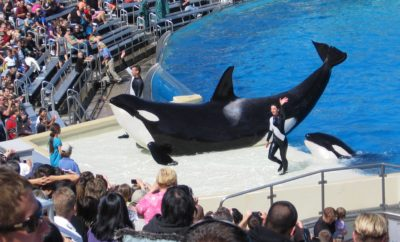Last Orca Calf to be Born at SeaWorld Dies in San Antonio