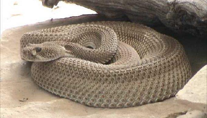 Rare Diamondback Among 60 Venomous Snakes Found in Texas Town